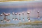 Flamingos no Deserto de Atacama