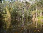 Mangue, costa leste do Suriname