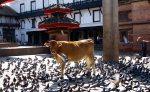 Em Kathmandu a vaca não vai para o brejo