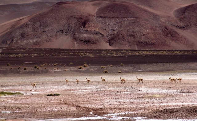 vicuñas pastando, Puna Argentina